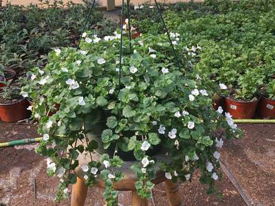 Bacopa Hanging Basket
